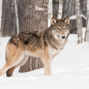 Oregon lethally removes two Pine Creek Pack wolves due to depredation
