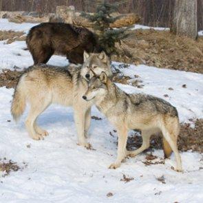 Oregon officials find five dead wolves
