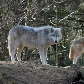 Oregon wolf numbers increase