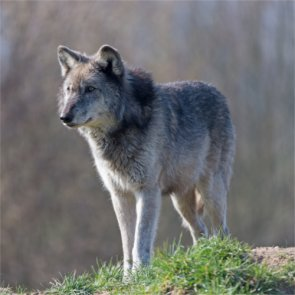 Wolves may be removed from Oregon's Endangered Species List