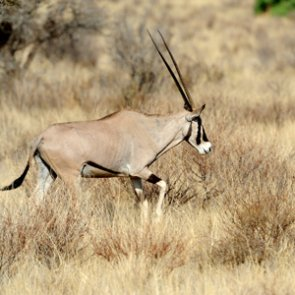 New Mexico announces oryx hunt for injured servicemen