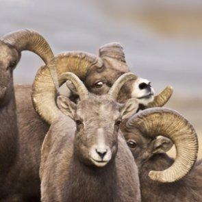 CPW keeps tabs on Pikes Peak bighorn sheep herd