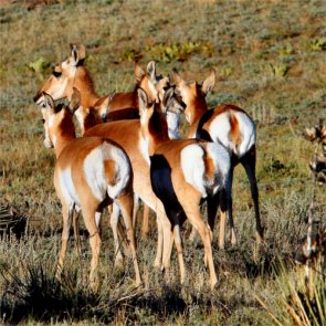 Small population of New Mexico antelope decreasing in size