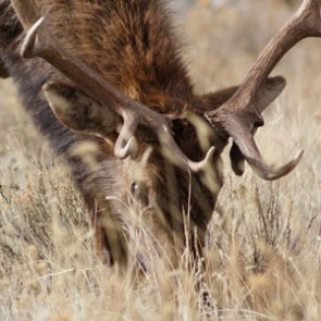 Pope & Young confirms new world record elk