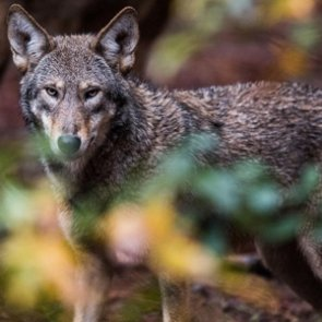 Endangered red wolves cannot be shot