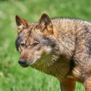 New proposal would allow red wolves to be hunted outside of Wildlife Refuge