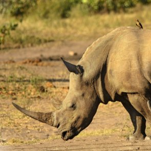 Texas man trains dogs to track African rhino poachers