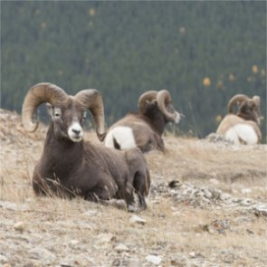 MT hunter fined $32,000 for illegal take of two bighorns