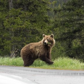 Lawsuit delays Idaho road improvements in grizzly bear habitat