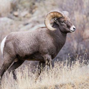 New study finds ancient bighorn sheep similar to modern species