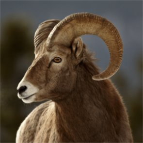 Montana moves forward with Tendoy sheep cull