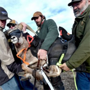 Wyoming relocates bighorn sheep from Devil's Canyon to Ferris-Seminoe