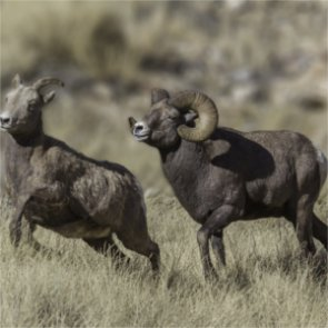 Will domestic sheep grazing continue in Colorado's Weminuche Wilderness?