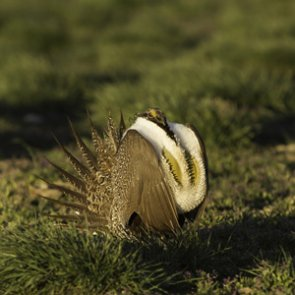 New bill to protect habitat for mule deer and sage grouse