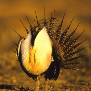 Help sage grouse and you help mule deer, too