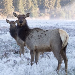 Colorado seeks information about elk poachers
