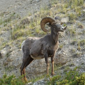 Hunters eliminate half of infected Tendoy bighorns