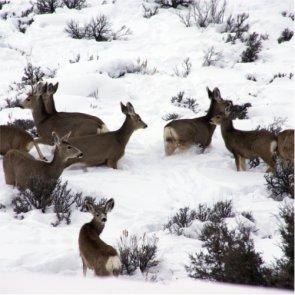 Harsh winter hurts Colorado mule deer