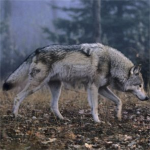 New study suggests gray wolves should maintain protected status