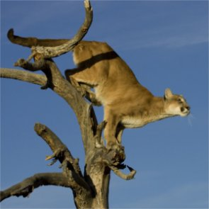 Science drives Wyoming mountain lion populations