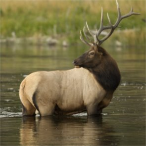 Will hazing sick Montana elk save healthy herds?