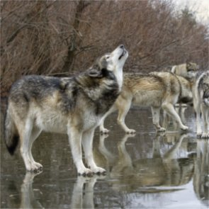 """Washington to """"lethally remove"""" problem wolves"""