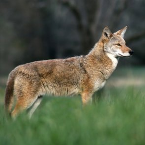 New South Carolina bill pushes for coyote bounty