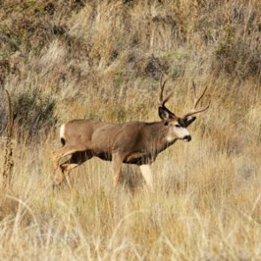 South Dakota changes deer license allocation