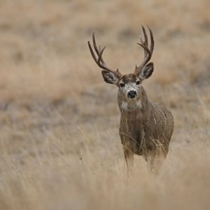 South Dakota modifies deer license allocation