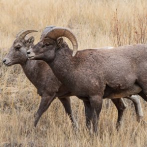 Proposed changes to SD bighorn sheep hunting causes controversy