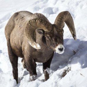Rare Teton Range bighorn sheep herd in danger