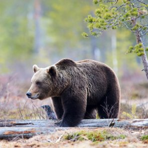 Montana considers changes to wolf and grizzly bear management