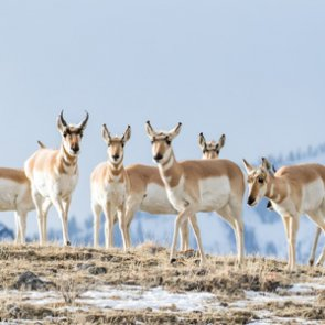 Train plows through dozens of antelope in Saskatchewan