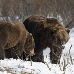 Tribal grant used to analyze grizzly bear movement data