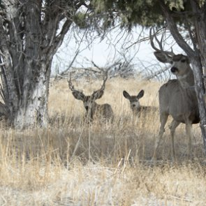 Utah deer populations healthy after long winter