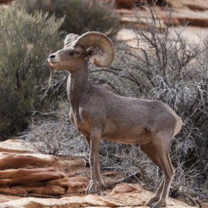 Utah proposes bighorn sheep relocation to Mineral Mountains
