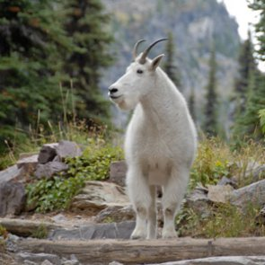 Groups file appeal over Utah mountain goats