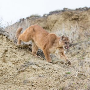 Utah still recommends more mountain lion permits this fall