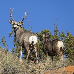 Utah deer numbers strong