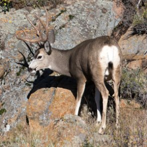Utah DWR proposes a decrease in general season deer permits for 2021