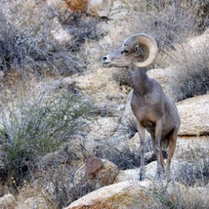 Utah moves forward with bighorn relocation to Mineral Mountains
