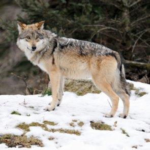 Utah trappers seek problem wolf