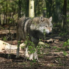 Wyoming wolf livestock attacks are up