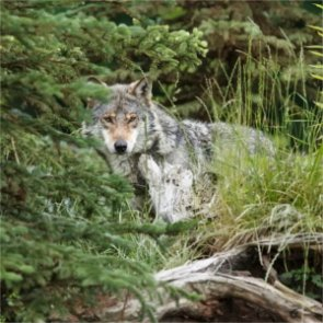 Wisconsin wolves attack hunting hounds