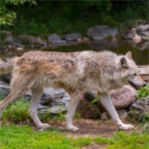"Oregon may allow hunt for ""problem wolves"""