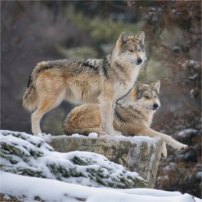Great Lakes states anticipate court ruling on gray wolves