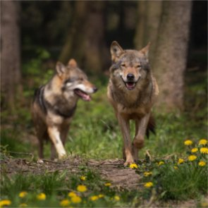 Mexican gray wolves are rebounding