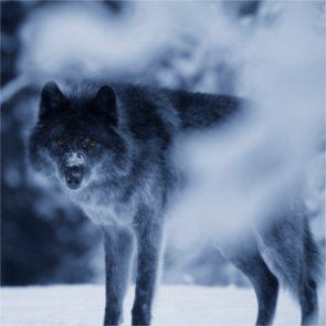 What happened to California's Shasta wolf pack?