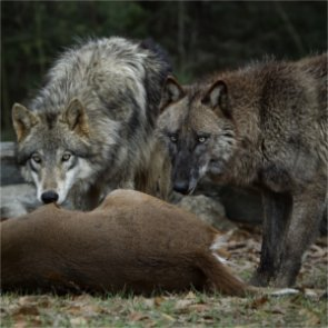 Is recovery slowing for Oregon wolves?