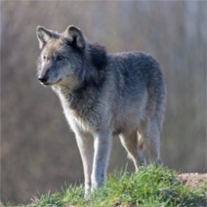 Federal appeals court rules in favor of FWS's push for Mexican gray wolf recovery